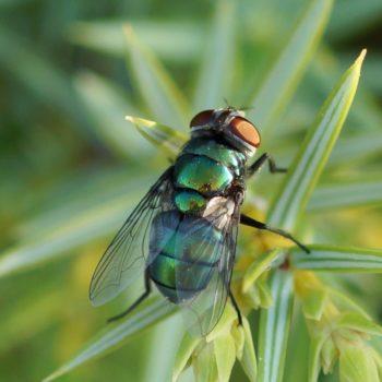 Chrysomya albiceps (Schmeißfliege)