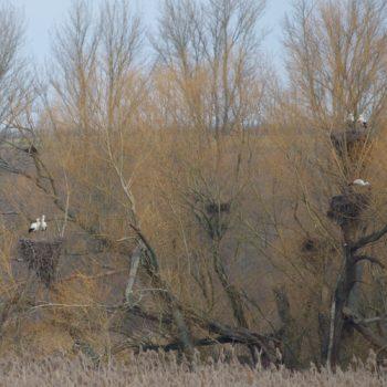 Ciconia ciconia (Weißstorch)