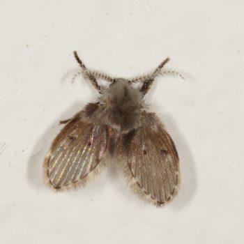 Clogmia albipunctata (Schmetterlingsmücke)