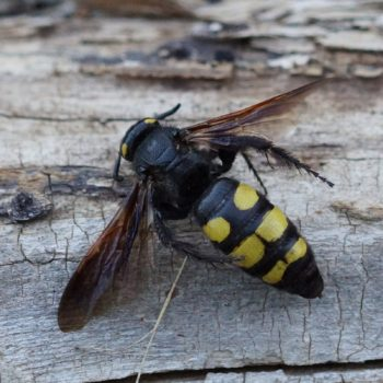Hymenoptera (Hautflügler) auf Krk, Kroatien (August 2018)