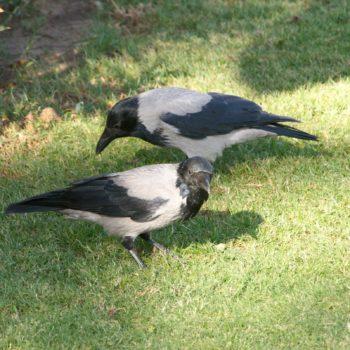Corvus corone (Aaskrähe)