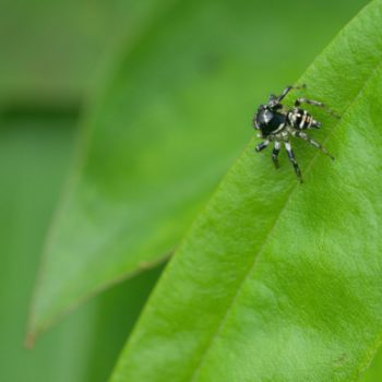 Corythalia sp. (Springspinne)