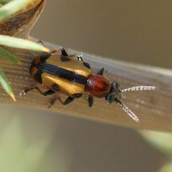 Coleoptera (Käfer) auf Krk, Kroatien (August 2018)