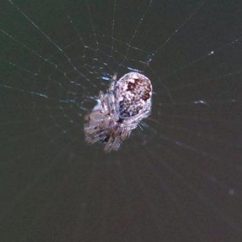 Cyclosa conica (Konusspinne)