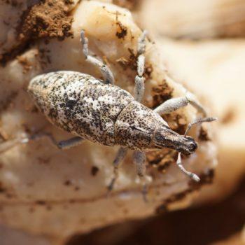 Cyphocleonus sp. (Rüsselkäfer)
