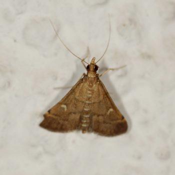 Dolicharthria punctalis (Long-legged China-Mark)