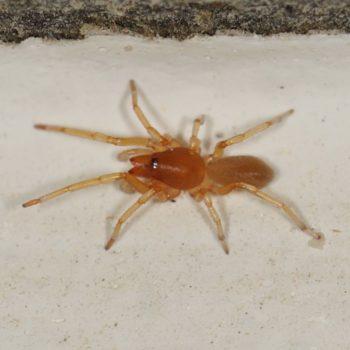 Dysderidae sp. (Sechsaugenspinne) - Krk