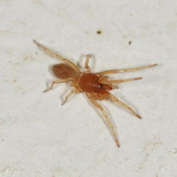 Dysderidae sp. (Sechsaugenspinne)