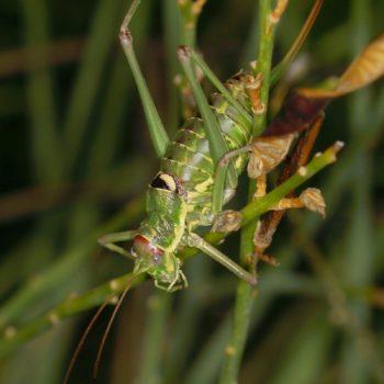 Ephippiger discoidalis (Balkan-Sattelschrecke) - Krk