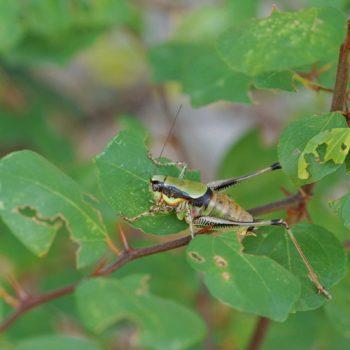 Eupholidoptera chabrieri schmidti (Grüne Strauchschrecke)