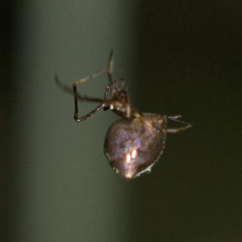 Faiditus sp. (Kugelspinne) - Costa Rica