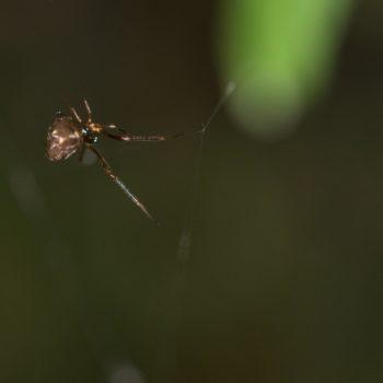Faiditus sp. (Kugelspinne)