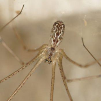 Araneae (Webspinnen) auf Krk, Kroatien (August 2018)