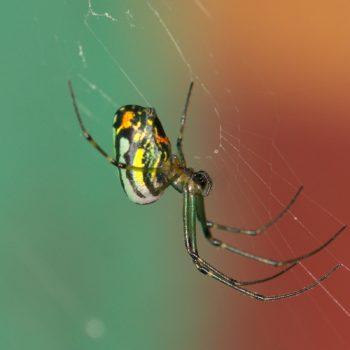 Leucauge sp. (Streckerspinne) - Costa Rica