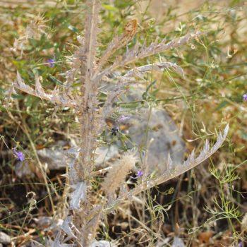 Macroglossum stellatarum (Taubenschwänzchen)