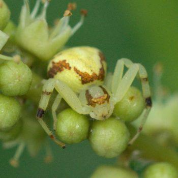 Mecaphesa sp. (Krabbenspinne)