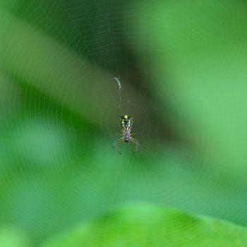 Micrathena funebris (Radnetzspinne)