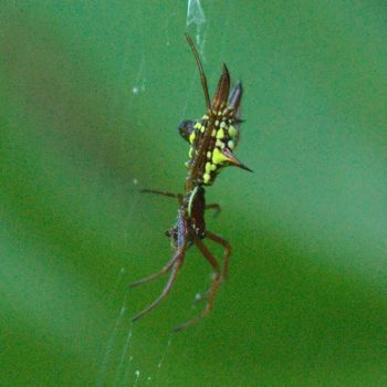 Micrathena sexspinosa (Radnetzspinne)
