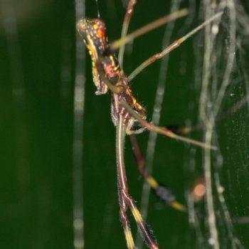 Nephila clavipes (Goldene Seidenspinne)