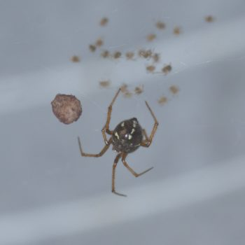 Nesticodes rufipes (Red House Spider)