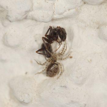 Oecobius maculatus (Scheinbennetzspinne)