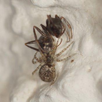 Oecobius maculatus (Scheinbennetzspinne) - Krk
