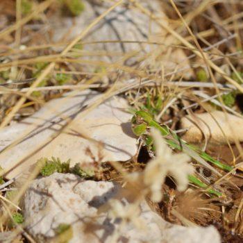 Oedaleus decorus (Kreuzschrecke)