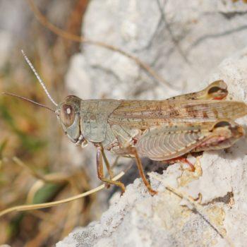 Paracaloptenus caloptenoides (Brunners Schönschrecke) - Krk