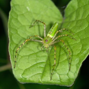 Peucetia viridans (Green Lynx Spider)