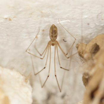 Pholcus phalangioides (Große Zitterspinne)
