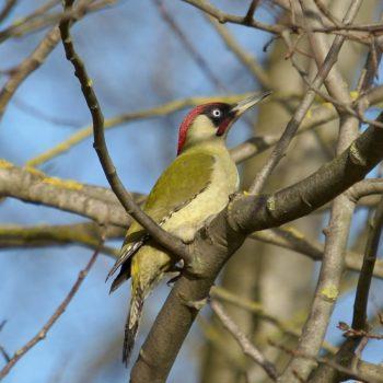 Picus viridis (Grünspecht)