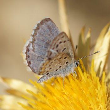 Lepidoptera (Schmetterlinge) auf Krk, Kroatien (August 2018)