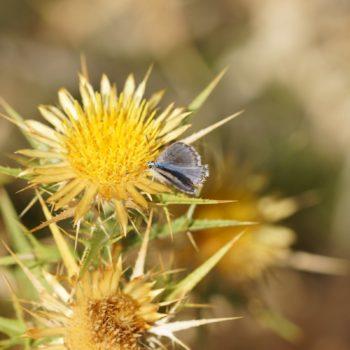 Pseudophilotes vicrama (Östlicher Quendelbläuling)