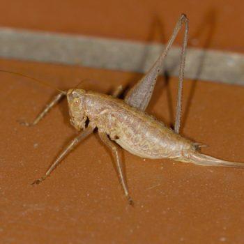 Pterolepis germanica (Zierliche Strauchschrecke) - Krk