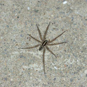 Rabidosa rabida (Rapid Wolf Spider)