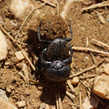 Scarabaeus semipunctatus (Blatthornkäfer)