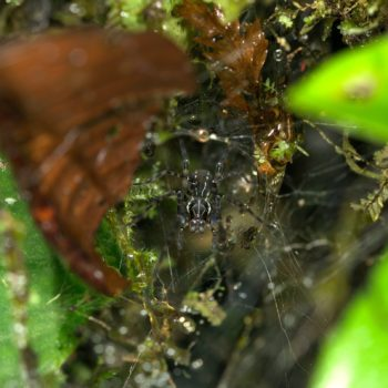 Tengella radiata (Kräuseljagdspinne)