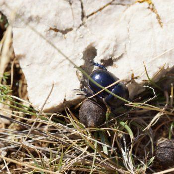 Trypocopris vernalis (Frühlingsmistkäfer)