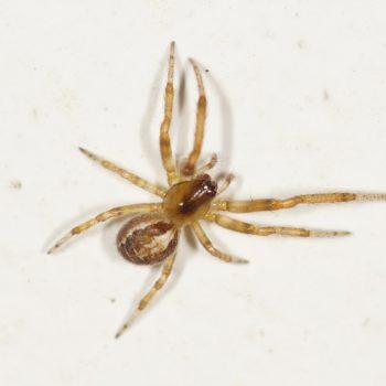 Zygiella x-notata (Sektorspinne)