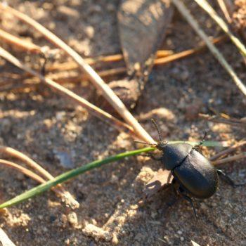 Ablattaria laevigata (Aaskäfer)