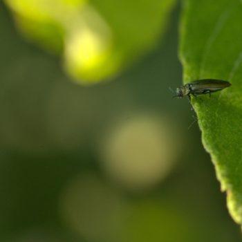 Agrilus sp. (Prachtkäfer)