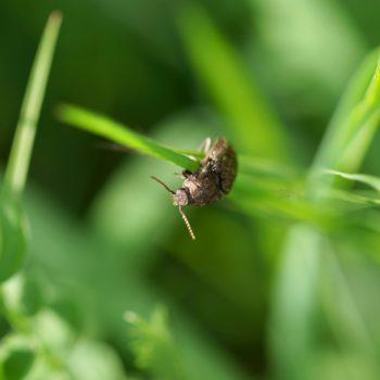 Agrypnus murinus (Mausgrauer Schnellkäfer)