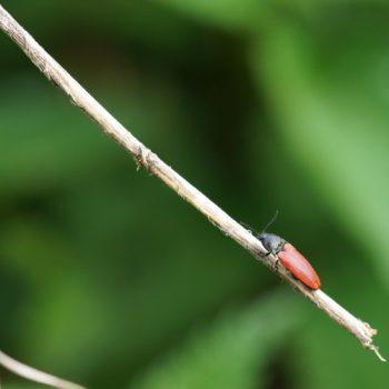 Ampedus sp. (Schnellkäfer)