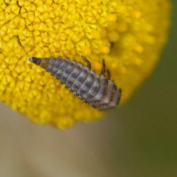 Anisosticta novemdecimpunctata (Neunzehnpunkt-Marienkäfer)