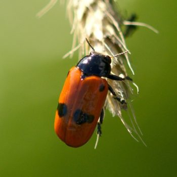 Clytra laeviuscula (Ameisensackkäfer)