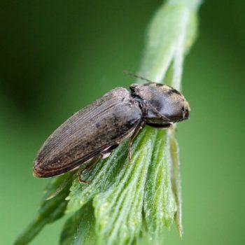 Dicronychus cf. cinereus (Schnellkäfer)