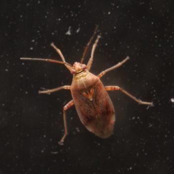 Lygus rugulipennis (Behaarte Wiesenwanze)