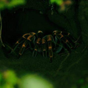 Megaphobema mesomelas (Rotbeinvogelspinne)