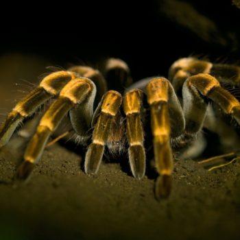 Araneae (Webspinnen)