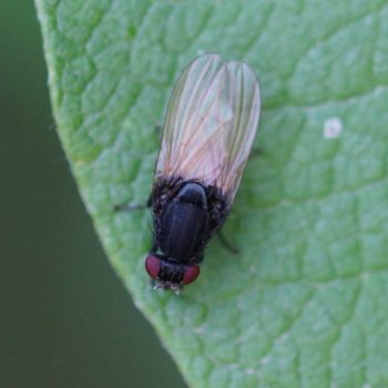 Minettia longipennis (Faulfliege)